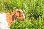 stock photo of headstrong  - view of Goat grazing in the green countryside - JPG