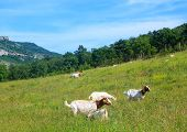 pic of headstrong  - the Goats grazing in the green countryside - JPG