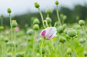 pic of opium  - Field of opium poppies - JPG
