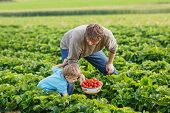 picture of strawberry blonde  - Young man and his son on organic strawberry farm in summer picking berries - JPG