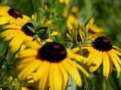 image of black-eyed susans  - Black eyed susan yellow flowers buds on the field of Black eyed susan - JPG