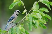 stock photo of blue jay  - Blue Jay perched on branch showing off black necklace Fort Myers Florida - JPG