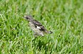 stock photo of mockingbird  - Baby Mockingbird jumping around on grass field Fort Myers Florida - JPG