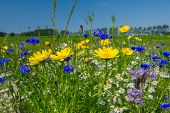 picture of marigold  - Colorful field with blue and yellow wild flowers - JPG