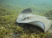 stock photo of stingray  - Darkspotted stingray  - JPG