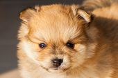 stock photo of pomeranian  - pomeranian dog - JPG