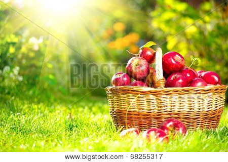 Organic Apples in a Basket outdoor. Orchard. Autumn Garden. Harvest season concept. Harvesting.  Pic poster