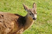picture of black tail deer  - Young blacktail deer a subspecies of mule deer graze on fresh grass - JPG