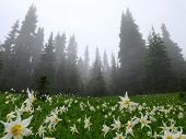 foto of avalanche  - A field of Avalanche Lilies in the fog - JPG