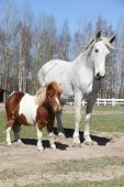 picture of pony  - Big white warmblood horse with pony friend - JPG