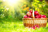 Organic Apples in a Basket outdoor. Orchard. Autumn Garden. Harvest season concept. Harvesting.  Picking red apples in summer orchard. Green Grass  poster