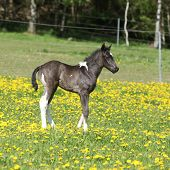 image of paint horse  - Beautiful paint horse foal on pasturage in spring - JPG
