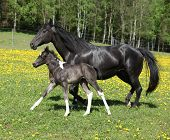 picture of mare foal  - Amazing mare with foal running on springs pasturage - JPG
