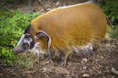 picture of stature  - A big statured red river hog ferret between the leafs - JPG