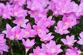 pic of lilly  - the Pink Rain Lilly Blossom Flower garden - JPG
