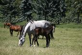 stock photo of thoroughbred  - Thoroughbred mare and foal in pasture following mother. Mare and her foal in meadow. Foal with a mare on a summer pasture.