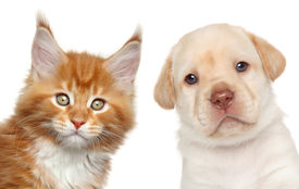 pic of coon dog  - Maine Coon kitten and Labrador puppy - JPG