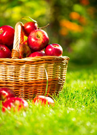 stock photo of orchard  - Organic Apples in a Basket outdoor - JPG