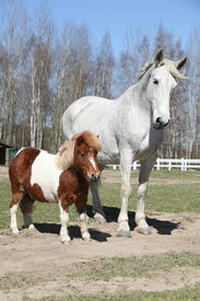 stock photo of big horse  - Big white warmblood horse with pony friend - JPG