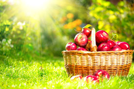 pic of food plant  - Organic Apples in a Basket outdoor - JPG