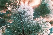 picture of pine-needle  - Pine branch with green long needles covered with white snow on the background of trees - JPG
