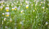 stock photo of viola  - Blooming violets  - JPG