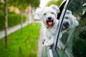 pic of maltese  - adorable maltese puppy looking out the car window - JPG