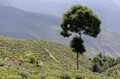 picture of darjeeling  - Landscape and famous Tea plantation Darjeeling India - JPG