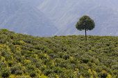 picture of darjeeling  - Landscape and famous Tea plantation Darjeeling India.