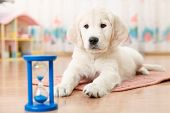 pic of golden retriever puppy  - training of golden retriever puppy watching at the hourglass - JPG
