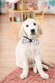 image of golden retriever puppy  - Portrait of golden retriever puppy sitting on the flour at room - JPG