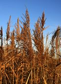 foto of tall grass  - tall grass in the fall and autumn scene - JPG