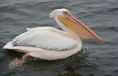 picture of water bird  - Pelicans are a large water birds - JPG