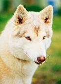 stock photo of husky  - White Adult Siberian Husky Dog  - JPG