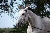 picture of bridle  - Gray latvian breed horse portrait with black bridle