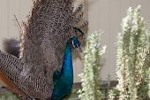 picture of female peacock  - Close up of beautiful and colorful peacock with a crown of feathers - JPG