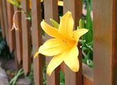 picture of yellow flower  - yellow flower sticking out from a fence - JPG