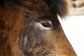 image of brown horse  - Closeup of the eye of a brown Icelandic horse - JPG
