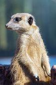 stock photo of meerkats  - A guarding meerkat or suricate  - JPG