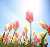 picture of angle  - tulips framed in a wide angle image taken under the flowers on a summer sunny day - JPG