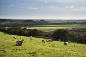 image of spring lambs  - Beauitful landscape image of Spring lambs and sheep in fields during late evening light - JPG