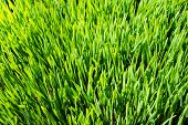 foto of wheat-free  - Closeup of indoors cultivated wheat grass sprouts ripe for harvesting - JPG