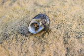 image of hermit crab  - Hermit Crab in a screw shell on tropical sea - JPG