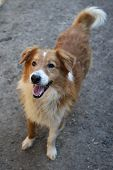 picture of stray dog  - Beautiful orange a stray dog from the shelter looks with hope  - JPG