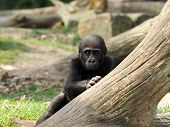 picture of gorilla  - Portrait of a Gorilla youngster looking from behind a tree - JPG