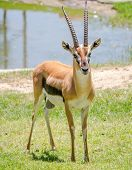 foto of antelope horn  - Male thomson gazelle with beautiful horns in natural scene - JPG