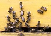 stock photo of honey bee hive  - Honey bees are flying in and out of an yellow hive gathering pollen for honey - JPG