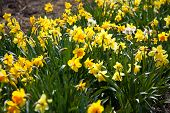 image of easter lily  - Narcissus pseudonarcissus  - JPG
