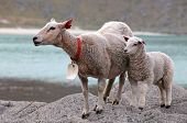 picture of lofoten  - Sheep and lamb in coast in Norway  - JPG