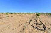 picture of drought  - Newly planted almond trees on a San Joaquin Valley farm are watered with a drip irrigation system in a time of drought in California - JPG